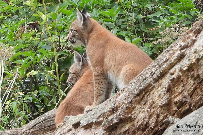 Twee Jonge lynxen  27 augustus 2020