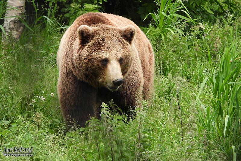 Europese bruine beer, augustus 2019