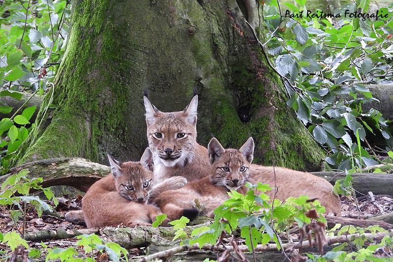 Moeder Lynx met 2 jongen 19 augustus 2021