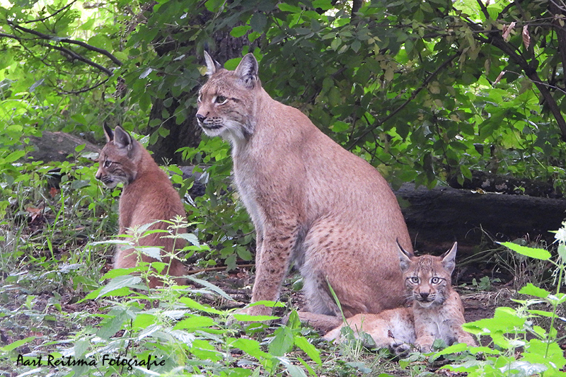 Moeder en jonge lynx  19 augustus 2021