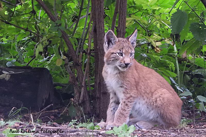 Jonge lynx  19 augustus 2021