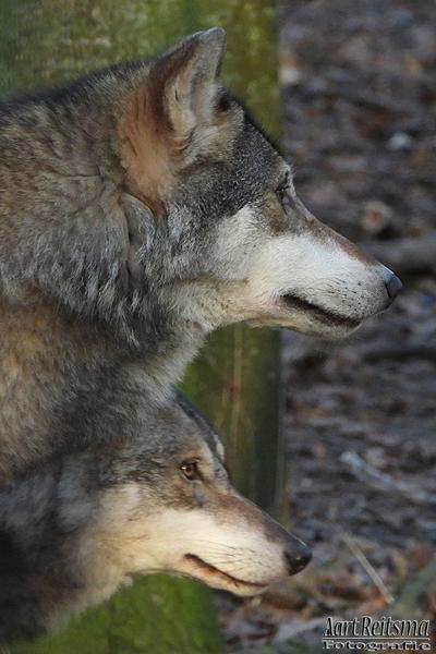 Europese wolfen op de loer, augustus 2019