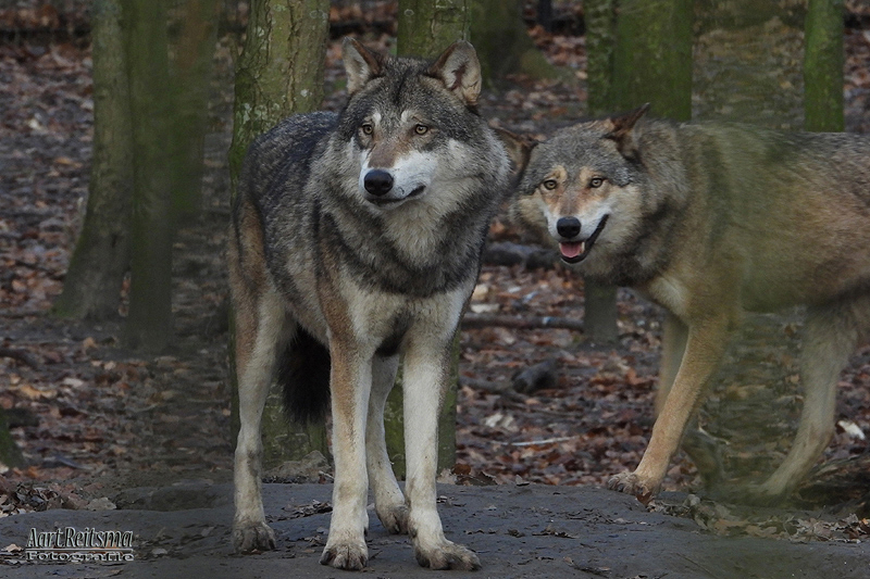 Europese wolfen, augustus 2019