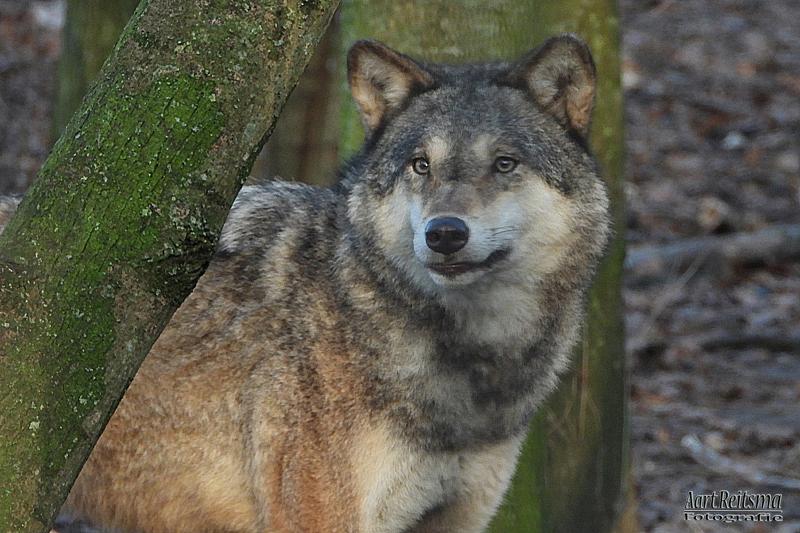 Europese wolf, augustus 2019
