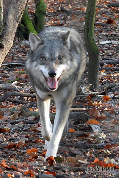 Close-up Europese wolf, augustus 2019