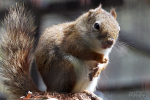 Hudson eekhoorn, augustus 2019