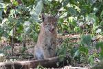 Close-up Jonge Lynx 10 augustus 2020