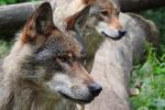 Twee europese wolven,  juni 2020