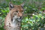Europese Lynx, augustus 2019