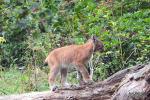 Jonge lynx 27 augustus