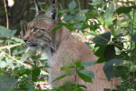 Europese Lynx op de loer, augustus 2019