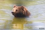 Zwemmende europese bruine beer, augustus 2019