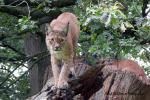 Moeder Lynx met 3 jongen in oude boomstronk  19 augustus 2021