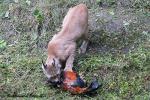 Moeder lynx dood haan  19 augustus 2021