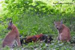 Twee jongen lynxen met dode haan 19 augustus 2021