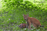 Jonge lynx  met dode haan 19 augustus 2021