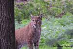Vader lynx houd de boel in de gaten 19 augustus 2021