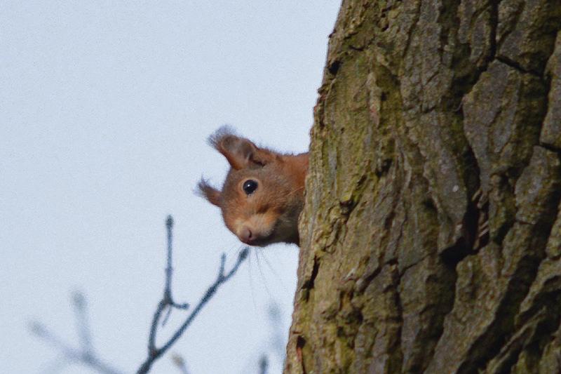 Rode eekhoorn, zie je wel hoor