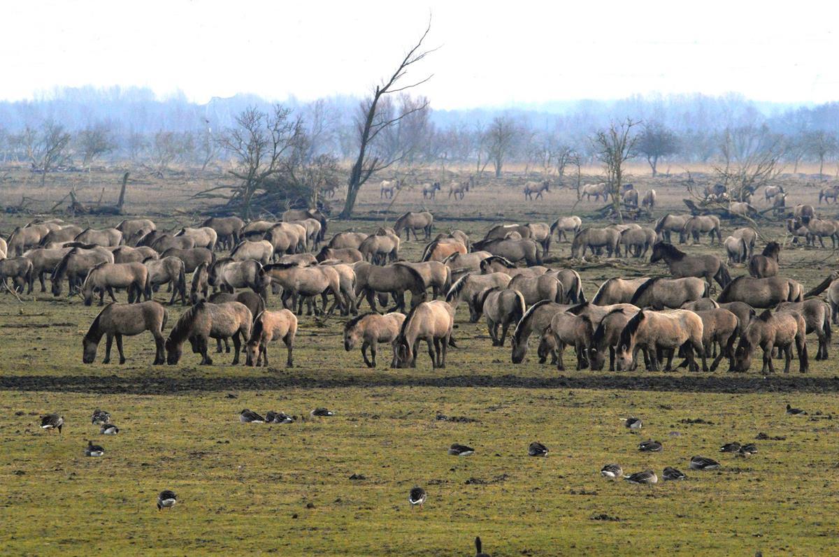 Grote kudde Konikpaarden Oostvaardersplassen