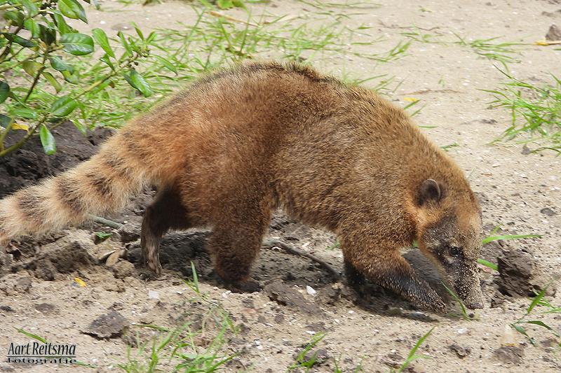 Rode Neusbeer