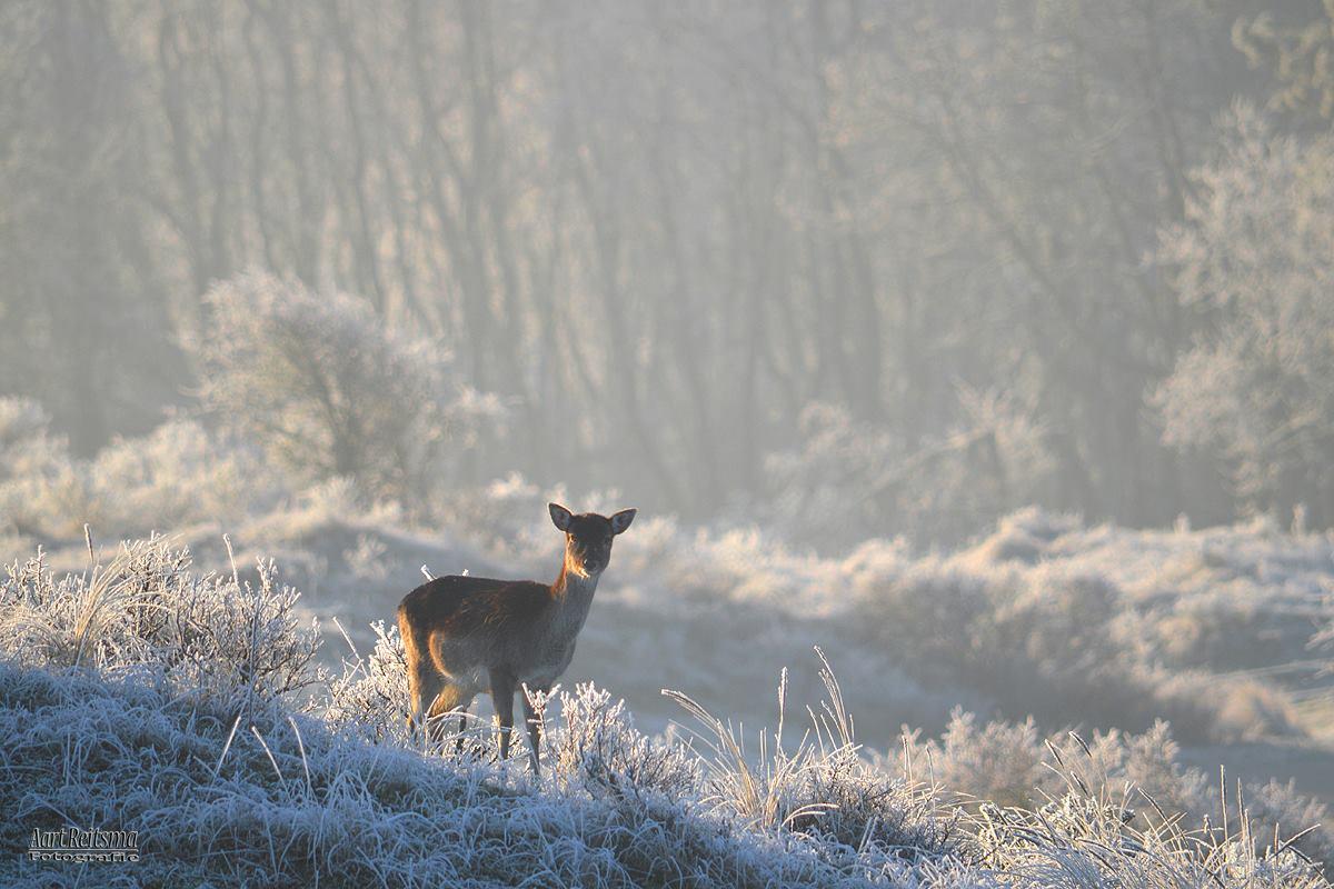 Damhert, winter