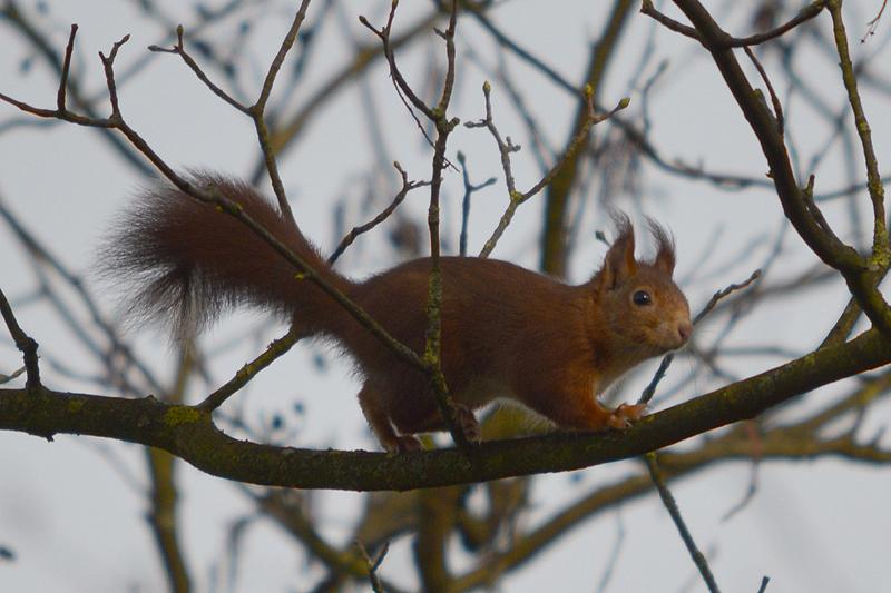 Rode eekhoorn in bos Guntersteyn