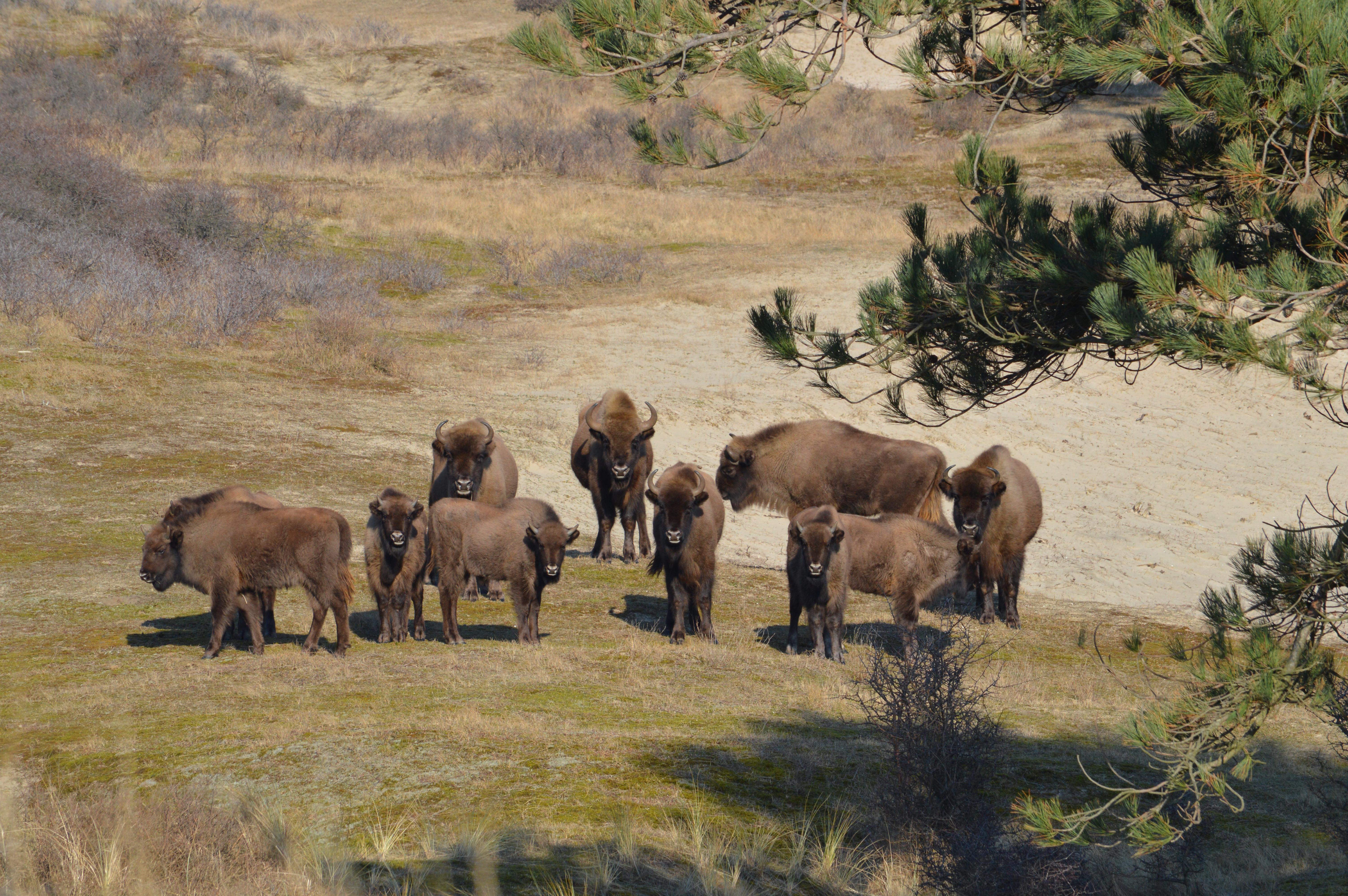 Kudde Wisenten, Nationaal Park Zuid-Kennemerland