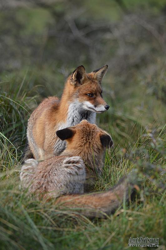 Vechtende vossen