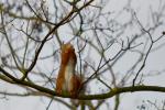 Rode eekhoorn eet bladknop