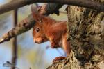Close-up rode eekhoorn
