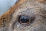 Close up oog Damhert