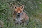 Een sluw vosje