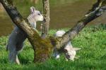 Voorjaar, lammetjes in de weide